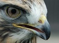 Hawk_macro